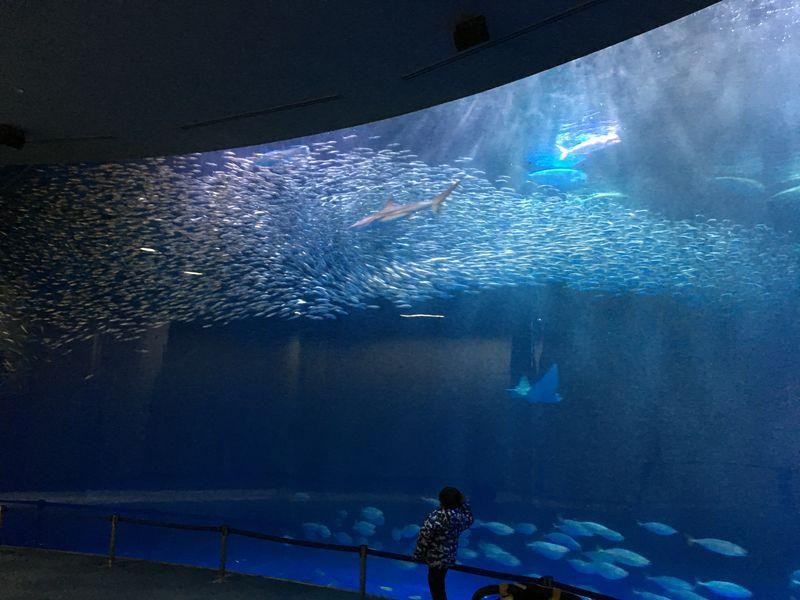 名古屋港水族港沙丁魚群