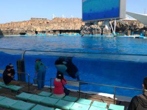 名古屋港水族館虎鯨訓練