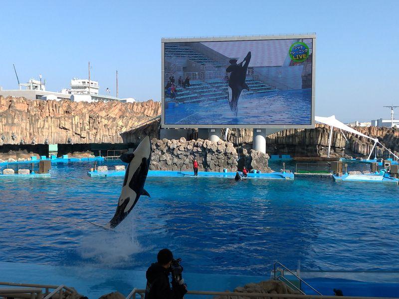 名古屋港水族館-虎鯨表演1