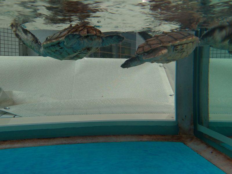 名古屋港水族館大海龜