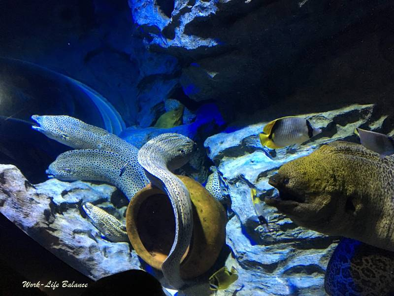 S.E.A.海洋館鱔魚